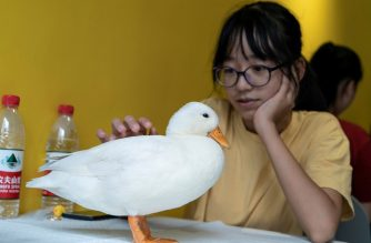 This photo taken on August 29, 2019 shows a woman touching a duck at Hey! Wego duck cafe in Chengdu in China's southwestern Sichuan province. - Tucked in the centre of the southeastern city Chengdu, crowds in a cafe ignore their drinks to crowd adoringly around four white fluffy ducks, phones poised ready for pictures. (Photo by Pak YIU / AFP) / TO GO WITH CHINA-LIFESTYLE-ANIMAL BY PAK YIU