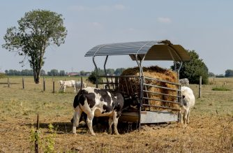(FILES) This file photo taken on August 26, 2019 shows cows eating hay in Vieux-Berquin, some 40kms north of Lille in northern France, as farmers face a shortage of fodder for their animals while drought conditions prevail over much of Europe. - Livestock have paid a heavy price for the drought and summer heat waves, and the industry is wondering what measures to take to survive facing this new situation. (Photo by PHILIPPE HUGUEN / AFP)