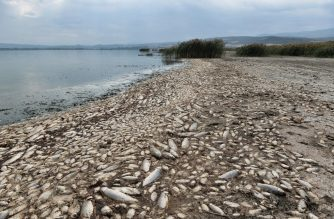 Thousands of dead freshwater fish are seen around Lake Koroneia, some 30km east from Thessaloniki, on September 19, 2019. - According the authorities the high fish mortality is largely due to a sharp drop in levels due to the drought, the prolonged period of high temperatures that result in evaporation of water and the failure to maintain the works that contribute to the water supply to the lake. (Photo by Sakis MITROLIDIS / AFP)