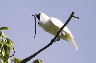 """This image obtained October 21, 2019 courtesy of Anselmo d'Affonseca shows a male white bellbird (Procnias albus)screaming its mating call. - Deep in the Amazon, a white-plumed suitor weighing no more than half a pound turns to face his paramour before belting out a defeaning, klaxon-like call, reaching decibel levels equal to a piledriver. Meet the white bellbird, who has just beaten out its rainforest neighbor, the screaming piha, for the title of the world's loudest bird, according to a new paper published in the journal Current Biology on October 21, 2019. (Photo by Anselmo d'AFFONSECA / ANSELMO D'AFFONSECA / AFP) / RESTRICTED TO EDITORIAL USE - MANDATORY CREDIT """"AFP PHOTO / ANSELMO D'AFFONSECA/HANDOUT"""" - NO MARKETING - NO ADVERTISING CAMPAIGNS - DISTRIBUTED AS A SERVICE TO CLIENTS"""
