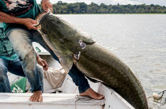 "(FILES) This file handout picture released by the Mamiraua Institute of Sustainable Development taken on November 27, 2018, shows fishermen removing a large Pirarucus (Arapaima gigas) fish from the water at the Amana Sustainable Development Reserve, in Amazonas State, northern Brazil. - Pirarucus, known as 'Amazon cod', had almost disappeared from Amazonian rivers and lakes, but with a program carried out by scientists of the Mamiraua Institute, the fish returned to abundance and know is served in recognised restaurants in Rio de Janeiro. (Photo by HO / Mamiraua Institute of Sustainable Development / AFP) / RESTRICTED TO EDITORIAL USE - MANDATORY CREDIT ""AFP PHOTO / MAMIRAUA INSTITUTE OF SUSTAINABLE DEVELOPMENT / BERNARDO OLIVEIRA"" - NO MARKETING NO ADVERTISING CAMPAIGNS - DISTRIBUTED AS A SERVICE TO CLIENTS"