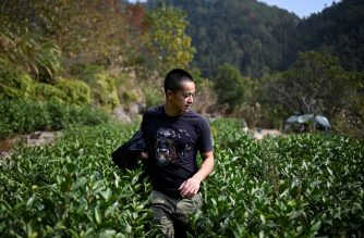This picture taken on November 13, 2019 shows Chinese farmer Ma Gongzuo checking his tea garden in Songyang county in China's Zhejiang province. - Once a modest beekeeper, Ma Gongzuo has been driving a BMW since he started selling his honey using a technique increasingly popular with Chinese farmers: video clips that show the origins of his product and open a window onto rural life. The videos let increasingly discerning Chinese consumers see how the honey is made and have helped farmers like Ma out of poverty, which the ruling Communist party hopes to eradicate by 2020. (Photo by WANG ZHAO / AFP) / TO GO WITH China-poverty-economy-internet-lifestyle,FEATURE by Ludovic EHRET