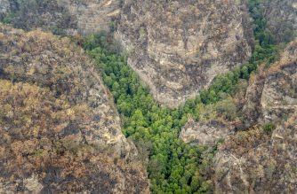 "This January 9, 2020, aerial image obtained from the New South Wales Department of Planning, Industry and Environment shows a gorge of Wollemi Pines in the Blue Mountains of Australia. - A secret operation by specialist firefighters has saved the world's last stand of Wollemi Pines, a pre-historic species known as ""Dinosaur trees"", from Australia's unprecedented bushfires, officials said. Fewer than 200 of the trees exist in the wild, hidden in a gorge in the World Heritage Blue Mountains north of Sydney. With flames approaching the area late last year, firefighters deployed air tankers to drop fire retardant in a protective ring around the trees while specialist firefighters were winched down into the gorge to set up an irrigation system to provide moisture for the grove, officials said (Photo by HO / AFP) / ---EDITORS NOTE ----RESTRICTED TO EDITORIAL USE MANDATORY CREDIT "" AFP PHOTO /NSW Department of Planning, Industry and Environment/ NO MARKETING NO ADVERTISING CAMPAIGNS - DISTRIBUTED AS A SERVICE TO CLIENTS-NO ARCHIVE"