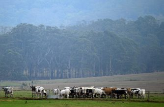Cattle graze as it rains on the outskirts of Nowra in Australia's New South Wales state on January 16, 2020. - Rain fell across parts of bushfire-ravaged eastern Australia and more wet weather was forecast, giving some relief following months of catastrophic blazes fuelled by climate change. (Photo by Saeed KHAN / AFP)