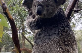 "A handout photo taken and received on January 17, 2020 from the Australian Reptile Park shows a wet koala at the Australian Reptile Park in Somersby, some 50 kilometres north of Sydney. - Heavy rain fell on bushfires in eastern Australia for a second straight day, offering further relief from a months-long crisis, but dozens of blazes remained out of control. (Photo by Handout / AUSTRALIAN REPTILE PARK / AFP) / ----EDITORS NOTE ----RESTRICTED TO EDITORIAL USE MANDATORY CREDIT "" AFP PHOTO / AUSTRALIAN REPTILE PARK"" NO MARKETING NO ADVERTISING CAMPAIGNS - DISTRIBUTED AS A SERVICE TO CLIENTS - NO ARCHIVES"