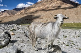 In this picture taken on August 27, 2019, a pashmina goat looks on as it pastures near Durbuk village, between Chang La mountain pass and Tangste, Ladakh. - For centuries the Changpa have tended the shaggy goats that provide silky-soft, super-expansive pashmina wool. But now many are rethinking their way of life, in part because of climate change. (Photo by Noemi CASSANELLI / AFP) / TO GO WITH: India culture climate textile Tibet Nepal, by Noemi CASSANELLI