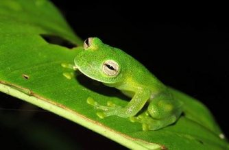 "Handout picture released by Bolivia's Natural History Museum ""Alcide d'Orbigny"" on January 27, 2020, showing one of three 'glass frogs', found on January 8, at the Sehuencas National Park, some 120 km east from Cochabamba, Bolivia. - Three specimens of the so-called 'glass frog', an endemic species which is characterized by having transparent belly skin, were found after 18 years, researches said. (Photo by Oliver QUINTEROS / Natural History Museum ""Alcide d'Orbigny"" / AFP) / RESTRICTED TO EDITORIAL USE - MANDATORY CREDIT ""AFP PHOTO /Natural History Museum ""Alcide d'Orbigny""/Oliver QUINTEROS "" - NO MARKETING - NO ADVERTISING CAMPAIGNS - DISTRIBUTED AS A SERVICE TO CLIENTS"
