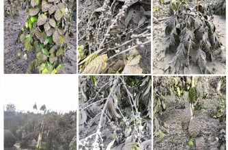 Composite of photos of agricultural crops damaged by ashfall from the recent Taal volcano's eruption. (Composite photo from Department of Agriculture/Courtesy DA website)