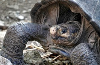 A specimen of the giant Galapagos tortoise Chelonoidis phantasticus, thought to have gone extint about a century ago, is seen at the Galapagos National Park on Santa Cruz Island in the Galapagos Archipelago, in the Pacific Ocean 1000 km off the coast of Ecuador, on February 19, 2019. - The adult female was found earlier in the day during an expedition in Fernandina Island, in the Galapagos, Ecuadorean Environment Minister Marcelo Mata announcement on Tuesday. (Photo by Rodrigo BUENDIA / AFP)