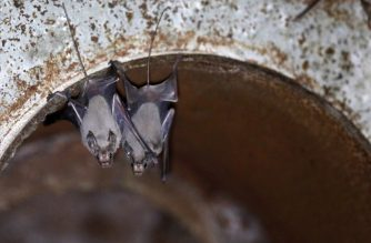 Lesser mouse-tailed bats are pictured inside an abandoned Israeli army outpost next to the Jordan River in the occupied West Bank on July 7, 2019. - The former Israeli military outpost on a dusty, yellow marlstone hill in the West Bank has become a man-made bat cave. It is one of a dozen or so mini-fortresses that were built among the hills above the Israel-Jordan border after the 1967 Six-Day War and abandoned by Israel following a 1994 peace accord between the countries. (Photo by MENAHEM KAHANA / AFP)