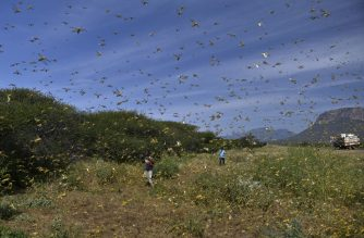 """Locusts swarm from ground vegetation as people approach at Lerata village, near Archers Post in Samburu county, approximately 300 kilomters (186 miles) north of kenyan capital, Nairobi on January 22, 2020. - """"Ravenous swarms"""" of desert locusts in Ethiopia, Kenya and Somalia, already unprecedented in their size and destructive potential, threaten to ravage the entire East Africa subregion, the UN warned on January 20, 2020. The outbreak of desert locusts, considered the most dangerous locust species, is """"significant and extremely dangerous"""" warned the United Nations' Food and Agriculture Organisation, describing the infestation as an eminent threat to food security in months to come"""" if control measures are not taken. (Photo by TONY KARUMBA / AFP)"""