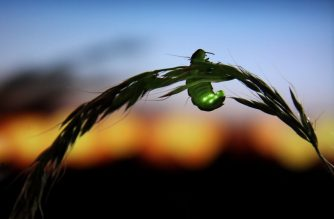 """This handout photograph released by Tufts University on February 3, 2020, shows a female glow-worm (Lambyris noctiluca) shining to attract her mate, yet brightening skies will dim her prospects, on June 30, 2012. - Decimated by habitat loss and pesticides, fireflies are in deep trouble, with many species facing extinction, according to the first major review of their global status, published February 3, 2020. Adding irony to injury, one of Nature's most entrancing spectacles is also being snuffed out by artificial light pollution, researchers reported in the journal Bioscience. More than 2,000 species of fireflies -- which are, in fact, beetles -- illuminate wetlands, marshes, grasslands, forests and urban parks worldwide. (Photo by Jason STEEL / TUFTS UNIVERSITY / AFP) / RESTRICTED TO EDITORIAL USE - MANDATORY CREDIT """"AFP PHOTO / TUFT UNIVERSITY /JASON STEEL"""" - NO MARKETING - NO ADVERTISING CAMPAIGNS - DISTRIBUTED AS A SERVICE TO CLIENTS"""