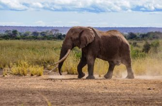 """This handout picture taken on September 10, 2016 and provided by the WildlifeDirect charitable organisation, shows Tim, Africa's largest and last great elephants standing just before being darted and collared in Amboseli National Park, in Kenya, at the foot of the snowcapped peaks of Kilimanjaro. - Big Tim, a beloved elephant who was one of Africa's last giant """"tuskers"""", has died, the Kenya Wildlife Service (KWS) said on February 5, 2020. A survivor of poachers, Big Tim was found dead of natural causes in Amboseli National Park at the foot of the snowcapped peak of Kilimanjaro, the Amboseli Trust for Elephants said. (Photo by Paul Obuna / WildlifeDirect / AFP) / RESTRICTED TO EDITORIAL USE - MANDATORY CREDIT """"AFP PHOTO / WILDLIFEDIRECT/ PAUL OBUNA""""- NO MARKETING - NO ADVERTISING CAMPAIGNS - DISTRIBUTED AS A SERVICE TO CLIENTS"""