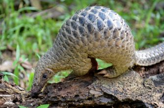 """(FILES) In this file photo taken on June 30, 2017, a juvenile Sunda pangolin feeds on termites at the Singapore Zoo. - The endangered pangolin may be the link that facilitated the spread of the novel coronavirus across China, Chinese scientists said on February 7, 2020. Researchers at the South China Agricultural University have identified the scaly mammal as a """"potential intermediate host,"""" the university said in a statement, without providing further details. (Photo by ROSLAN RAHMAN / AFP)"""