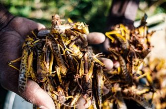 A resident holds locusts in their hand in Nakaprit is seen on February 15, 2020. - Nakaprit is home to traditional pastorialists who depend on their cattle for survival and with the threat of locust invasions, locals are worried the vegetation will be destroyed and their cows won't be able to feed. (Photo by SUMY SADURNI / AFP)
