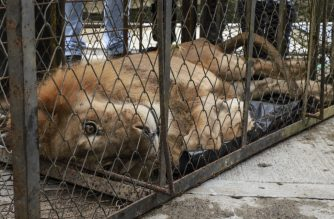 "Handout picture released by Cali's Mayor's office showing employees of the Administrative Department of Environmental Management (DAGMA) carrying Jupiter, a diminished 20-year-old lion, upon arrival at the zoo in Cali, Colombia, on February 27, 2020. - With thick skin tight to the ribs, a stray look and no strength to stand, Jupiter, was transferred from Buenavista in the Colombian department of Cordoba to Cali in an attempt to save him from death. (Photo by Guillermo Gutiérrez / Alcaldia de Cali / Cali Mayor's Office / AFP) / RESTRICTED TO EDITORIAL USE - MANDATORY CREDIT ""AFP PHOTO / CALI MAYOR'S OFFICE / GUILLERMO GUTIERREZ"" - NO MARKETING - NO ADVERTISING CAMPAIGNS - DISTRIBUTED AS A SERVICE TO CLIENTS"