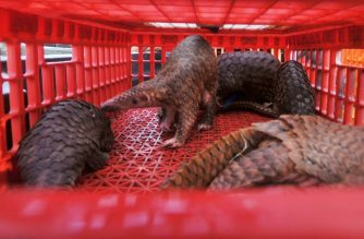 This picture taken on June 13, 2017 shows live pangolins seized by authorities in an anti-smuggling raid in Belawan, North Sumatra. - Indonesian authorities have seized hundreds of critically endangered pangolins and scales in a haul worth 190,000 USD after uncovering a major smuggling operation, an official said on June 14. (Photo by GATHA GINTING / AFP)