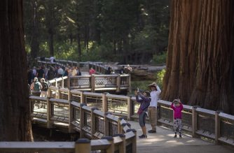 People walk among sequoia trees on the new boardwalk in the Mariposa Grove of Giant Sequoias on May 20, 2018 in Yosemite National Park, California which recently reopened after a three-year renovation project to better protect the trees that can live more than 3,000 years. (Photo by DAVID MCNEW / AFP)