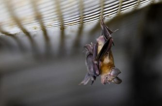 A Horseshoe bat hangs from a net inside an abandoned Israeli army outpost next to the Jordan River in the occupied West Bank, on July 7, 2019. - The former Israeli military outpost on a dusty, yellow marlstone hill in the West Bank has become a man-made bat cave. It is one of a dozen or so mini-fortresses that were built among the hills above the Israel-Jordan border after the 1967 Six-Day War and abandoned by Israel following a 1994 peace accord between the countries. (Photo by MENAHEM KAHANA / AFP)