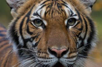 "This handout photo released by Wildlife Conservation Society's Bronx Zoo on April 5, 2020 shows the Malayan tiger Nadia who tested positive for Covid-19. - A tiger at New York's Bronx Zoo has tested positive for COVID-19, the institution said Sunday, and is believed to have contracted the virus from a caretaker who was asymptomatic at the time. (Photo by JULIE LARSEN MAHER / Wildlife Conservation Society / AFP) / RESTRICTED TO EDITORIAL USE - MANDATORY CREDIT ""AFP PHOTO / Julie Larsen Maher / @WCS "" - NO MARKETING - NO ADVERTISING CAMPAIGNS - DISTRIBUTED AS A SERVICE TO CLIENTS"