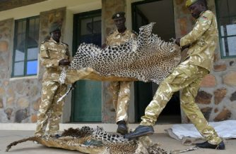 Game wardens display leopard skins, confiscated from bush hunters in surrounding rural communities who poach both for subsistence and traditional trophies, at their headquarters at the Boma National Park in eastern South Sudan, on February 4, 2020. - South Sudan holds enormous ecotourism potential, boasting Africa's largest savanna and wetland, the second-largest mammal migration on earth, and the lions, elephants and myriad other endangered and iconic species that have long lured visitors to the continent. (Photo by TONY KARUMBA / AFP)