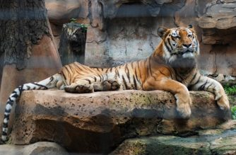 This picture taken on April 29, 2020 shows a tiger resting inside its enclosure at the zoo in Bandung, West Java. - Indonesian officials said on April 30 that some 60 cash-strapped animal parks -- home to roughly 70,000 creatures -- across the Southeast Asian archipelago have been closed since mid-March and most say they have only enough food until the middle of May. (Photo by TIMUR MATAHARI / AFP)