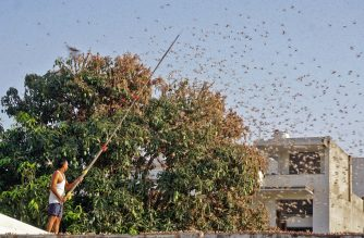 In this photograph taken on May 25, 2020 a resident tries to fend off swarms of locusts from a mango tree in a residential area of Jaipur in the Indian state of Rajasthan. - Authorities on May 25 were combating swarms of desert locusts that have been rampaging across parts of western and central India in the nation's worst pest infestation in nearly three decades, an official said. (Photo by Vishal Bhatnagar / AFP)