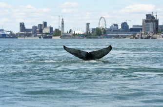 "This handout picture courtesy of Reseau Quebecois d'Urgences pour les Mammiferes Marins (RQUMM) shows the tail of a humpback whale swimming in the water by Montreal on May 30, 2020. - A humpback whale, no doubt lost, has been staying in Montreal since Saturday, a rare sight since the Quebec metropolis is located in fresh water and several hundred kilometres from the natural habitat of the marine mammal. (Photo by Handout / Reseau Quebecois d'Urgences Mammiferes Marins / AFP) / RESTRICTED TO EDITORIAL USE - MANDATORY CREDIT ""AFP PHOTO / RESEAU QUEBECOIS D'URGENCE POUR LES MAMMIFERES MARINS "" - NO MARKETING - NO ADVERTISING CAMPAIGNS - DISTRIBUTED AS A SERVICE TO CLIENTS / To go with AFP story by Olivier MONNIER: ""Canada: lost, a humpback whale spotted in Montreal"""