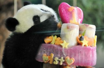 Yuan Zai , the first Taiwan-born baby panda, enjoys her birthday cake, during the celebration of her first birthday at the Taipei City Zoo on July 6, 2014. The first Taiwan-born panda was delivered on July 7, 2013 following a series of artificial insemination sessions after her parents -- Yuan Yuan and her partner Tuan Tuan, donated by China to Taiwan five years ago -- failed to conceive naturally.  AFP PHOTO / Mandy CHENG (Photo by Mandy Cheng / AFP)
