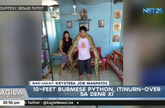 Man turns over Burmese python pet to DENR when it grew 10 feet long after 2 years