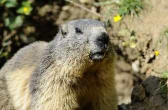 (FILES) In this file photo taken on May 25, 2016 a marmot is pictured at the Animal Park of Sainte-Croix in Rhodes, eastern France. - Russian authorities have warned residents of regions near Mongolia against hunting marmots but stressed there was no risk of bubonic plague spreading across the country. (Photo by Jean Christophe VERHAEGEN / AFP)