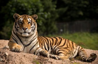 (FILES) In this file photo taken on August 25, 2017, a Siberian tiger sits in the Hengdaohezi Siberian Tiger Park in Hengdaohezi township on the outskirts of Mudanjiang. - Myanmar has opened the way for the commericial farming of tigers, pangolins and other endangered species, a move conservationists fear will drive Chinese demand for rare wildlife products and ultimately increase poaching. (Photo by Nicolas ASFOURI / AFP)