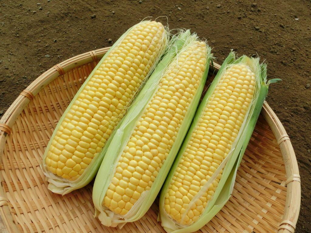 エフコネファームで採れたトウモロコシ(5本)※画像はイメージです。