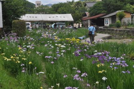 しょうぶまつり(愛媛県大洲市)の画像