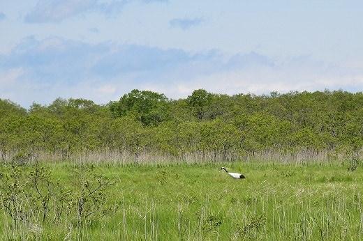 タンチョウ鶴は今も記憶の中に残っております。