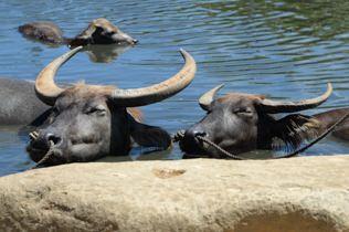 日もやっぱり強烈な暑さでした。牛さんも水につかってこの表情です。