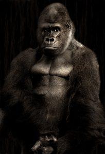 gorilla-610457_960_720