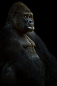 gorilla-625286_960_720