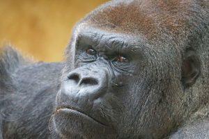 gorilla-967336_960_720