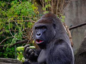 gorilla-1547124_960_720