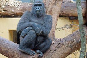 gorilla-859468_960_720
