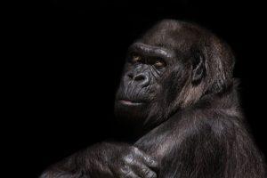 gorilla-845119_960_720