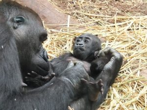 gorilla-505058_960_720