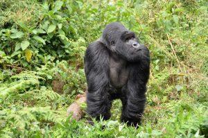 gorillas-474728_960_720