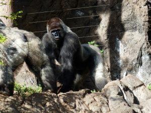 gorilla-406502_960_720