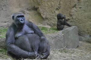 gorilla-979386_960_720