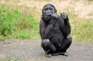 gorilla-315059_960_720