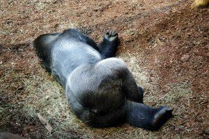 gorilla-368499_960_720
