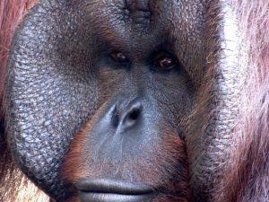 gorilla-52682_960_720