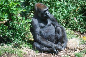 gorilla-71134_960_720